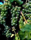 LaCrosse Vine