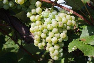 Swenson White Vine
