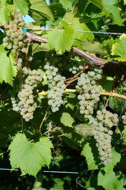 Frontenac blanc Vine