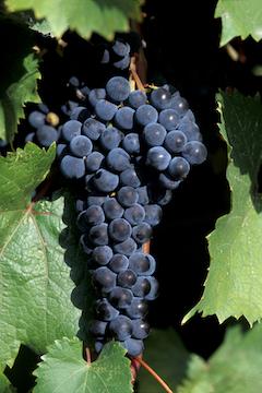 Marquette Vine