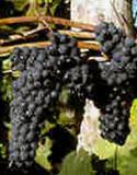 Marechal Foch Vine